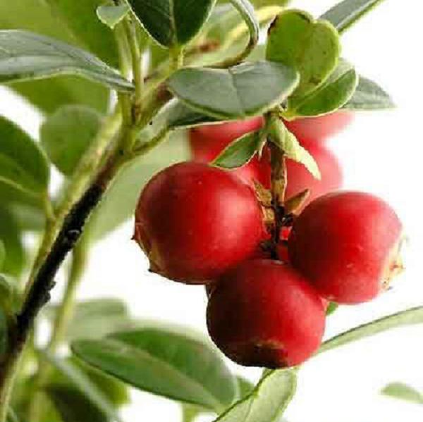 紅莓苔子003