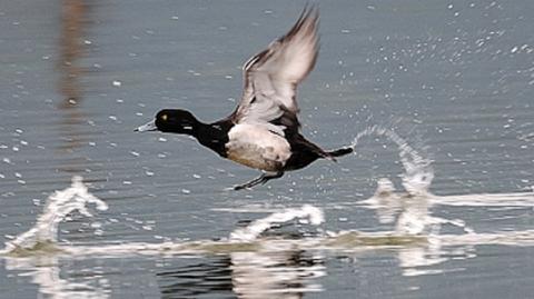 水鳥ケリ001