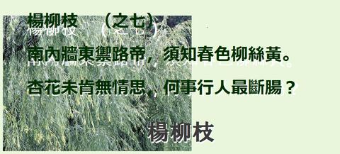 楊柳枝0007