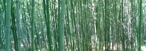 真竹002