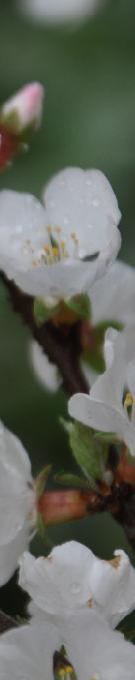 杏の白花013