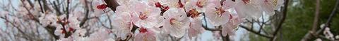 杏の花0055