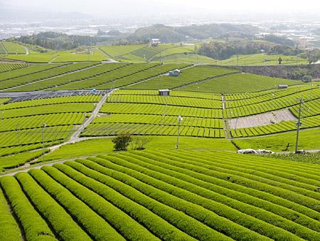 八女茶 畑