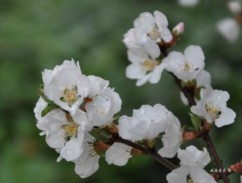 杏の白花01