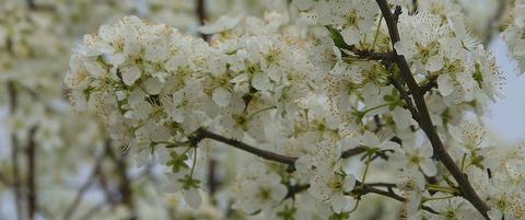 杏の花002