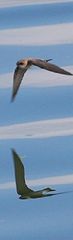 江上のツバメ02