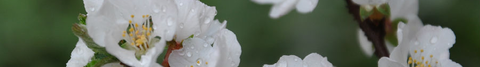 杏の白花012