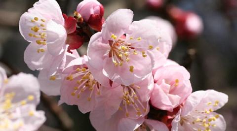 杏の花001