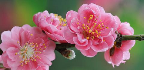 杏の花01