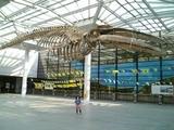 ナガスクジラ標本