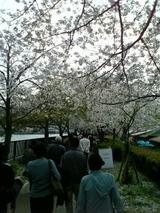 大川桜のトンネル