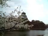 外堀からの大阪城と桜
