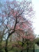 大阪城の梅の木