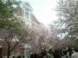 大阪造幣局桜の通り抜け09風景 2