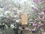 2009年今年の桜