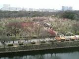 2月25日大阪城の梅開花状況