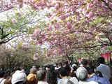 桜の回廊 2008