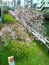道頓堀川の春