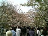 造幣局桜通り抜け風景