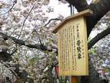 今年の桜 2008
