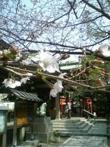 高津神社の桜