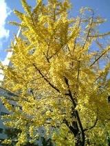イチョウの黄葉ピーク 11月30日