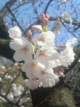 高津神社の桜 0324