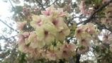 造幣局の桜 1