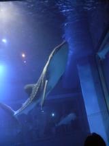 ジンベイザメ 2