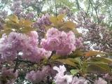 造幣局の桜 2