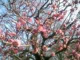 大阪城梅の花