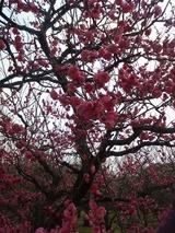 2008年2月6日梅の木2