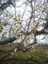 2008年2月6日梅の木1