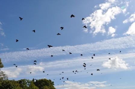 crow-11