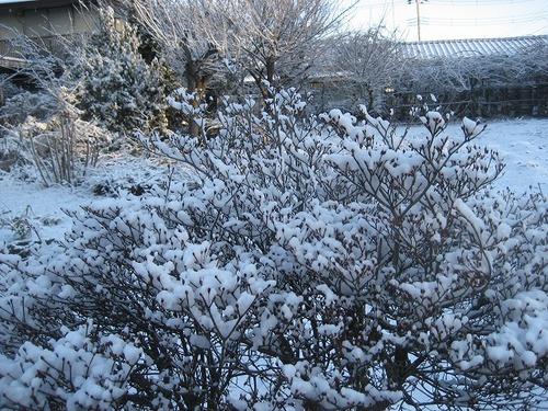 2012雪の茶豆 001