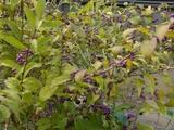 美山の紫式部