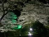 美山の夜桜