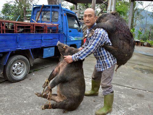 台湾先住民の男性、猟犬とナイフで一日に2頭のイノシシを討伐 四十年で1000頭を仕留めたベテラン 2ch「三毛別羆害事件」「犬が凄いな犬が」「犬が凄いだけやん」