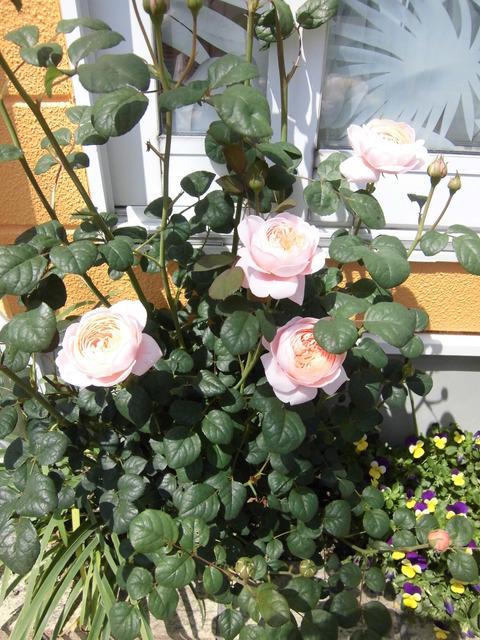 病院の花壇のバラが咲きました♪