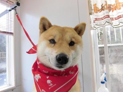 赤いスカーフのワク君♪