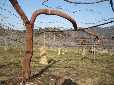 信州 長野県 生坂村 ぶどうの木の皮むき 季来里ふぁーむ