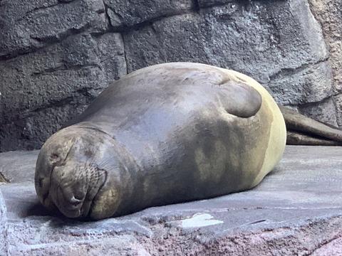 トドのお昼寝