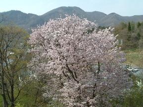 30504玄関前桜満開午前・昼・夕方 006 (2)