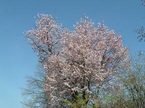 30504玄関前桜満開午前・昼・夕方 001