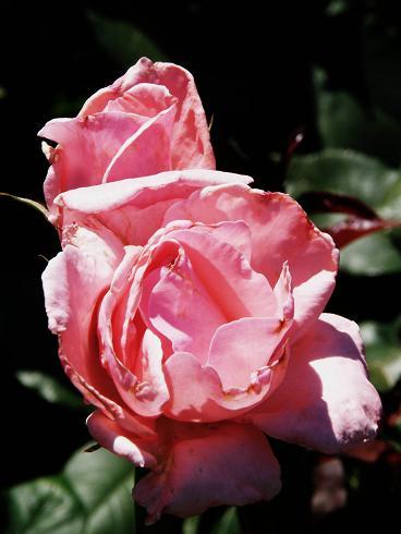 web_rose