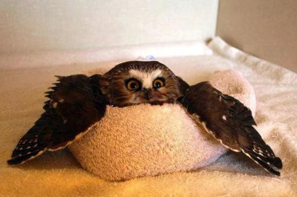 羽を広げてリラックスしているフクロウがかわいいのでコラ職人がんばる