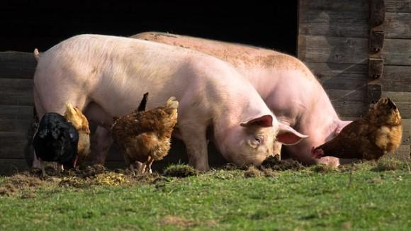pigs-4125935_640_e