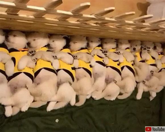 仲良く並んでお昼寝中の子犬たち。この後一斉に目覚めるよ!