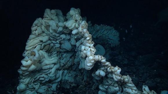 新種か!?これまでに見たこともない脳味噌のような外観をした巨大な深海生物が発見される(ハワイ沖)