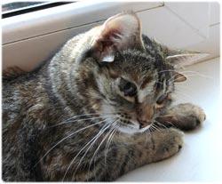 ロシアの生物学者、通りで偶然見つけた5つ耳の野良猫を自宅に持ち帰り、複数耳の猫を作り出す実験を計画中